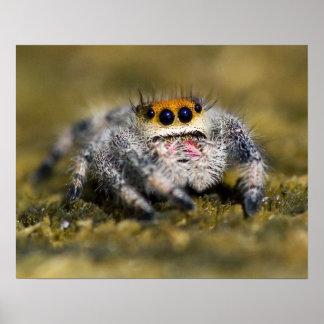 USA, Florida. Close-up of jumping spider. Credit Poster