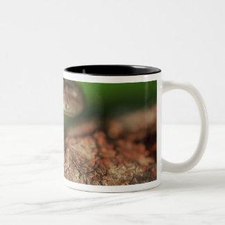 USA, Florida, Cuban Tree Frog. Coffee Mugs