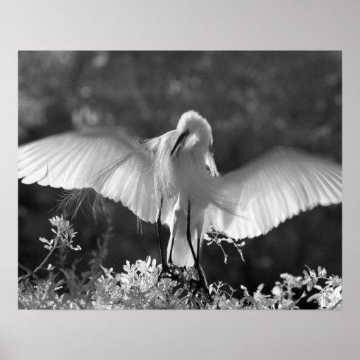 USA, Florida, Great Egret (Ardea alba) infrared 2 Print