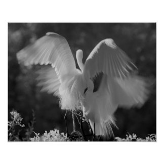 USA, Florida, Great Egret (Ardea alba) infrared 3 Poster