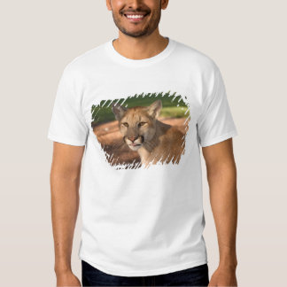 USA, Florida panther (Felis concolor) is also T Shirt