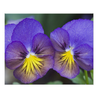 USA, Georgia, Pine Mountain. A closeup of pansy Poster