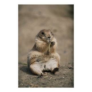 USA, Great Plains, Portrait of Prairie dog Poster