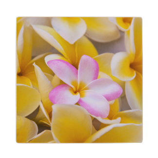 USA, Hawaii, Oahu, Plumeria flowers in bloom 1 Wood Coaster