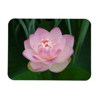 USA, Kansas, Pink Water Lilly Rectangular Photo Magnet