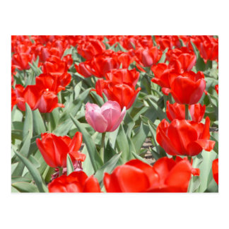 USA, Kansas, Red Tulips With One Pink Tulip Postcard