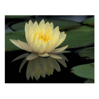 USA, Kentucky, Louisville Domestic water lily, Postcard