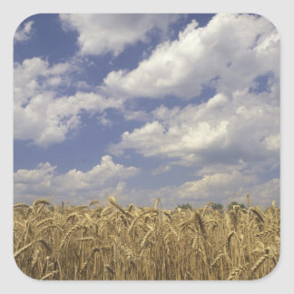 USA, Kentucky, Louisville. Wheat crop and Square Sticker