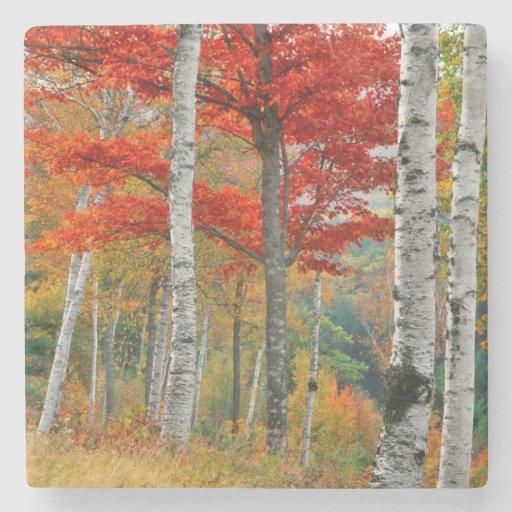 USA, Maine, Wyman Lake. Forest Of Birch Stone Beverage Coaster