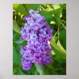 USA, Michigan. Blooming French Lilac Print
