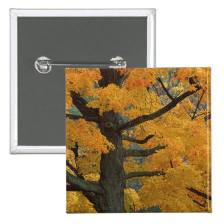 USA, Michigan, Close-up of sugar maple tree in 15 Cm Square Badge