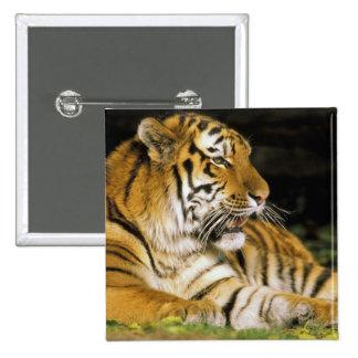 USA, Michigan, Detroit. Detroit Zoo, tiger at 15 Cm Square Badge