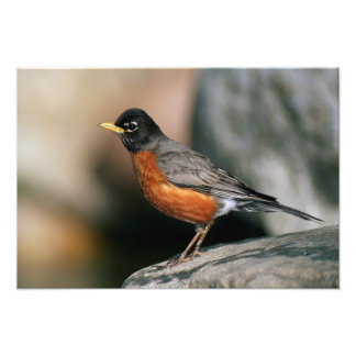 USA, Minnesota, Mendota Heights, male Robin Photographic Print