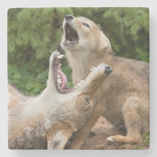 USA, Minnesota, Sandstone, Minnesota Wildlife 6 Stone Coaster