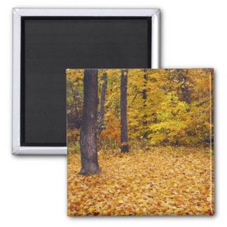 USA, Missouri, Boone County, Maple Forest in Square Magnet