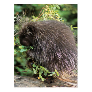 USA, Montana, Kalispell. Porcupine and rose hips Postcard