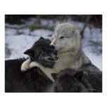 USA, Montana, Wolves playing in snow