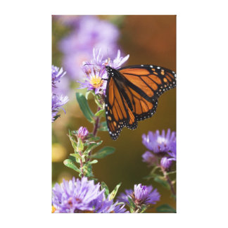 USA, New Hampshire. Monarch butterfly on aster Canvas Print
