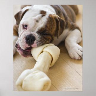 USA, New Jersey, Jersey City, Cute bulldog pup 2 Poster