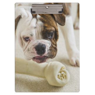USA, New Jersey, Jersey City, Cute bulldog pup Clipboards
