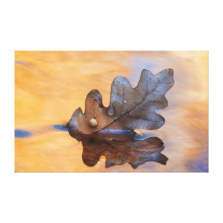 USA, New Mexico. Oak leaf in stream Stretched Canvas Print