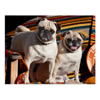USA, New Mexico. Two Pugs Together Postcard