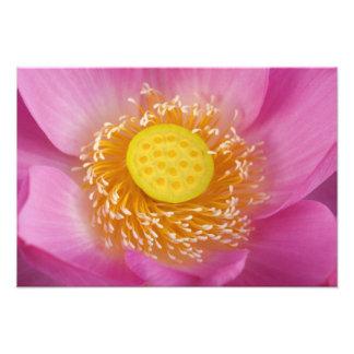 USA; North Carolina; Lotus blooming in the Photo Print