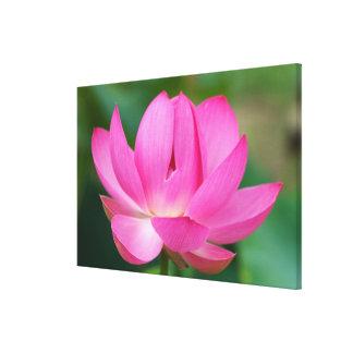 USA; North Carolina; Lotus blossom Canvas Prints