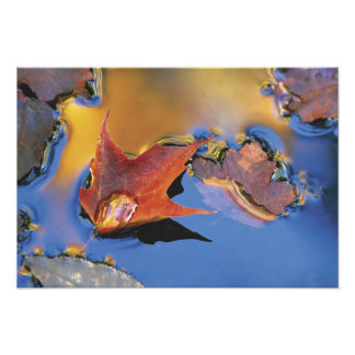 USA, Northeast, Maple Leaf in Reflection Photograph