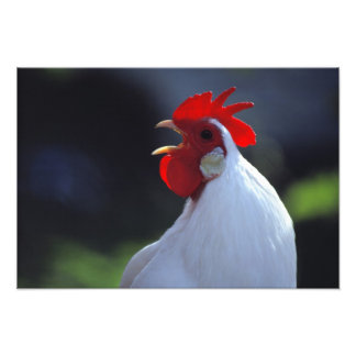 USA, Oregon, Eugene. A white rooster greets Photograph