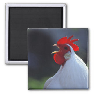 USA, Oregon, Eugene. A white rooster greets Square Magnet