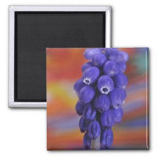 USA, Oregon, Portland. Close-up of blue grape Magnet