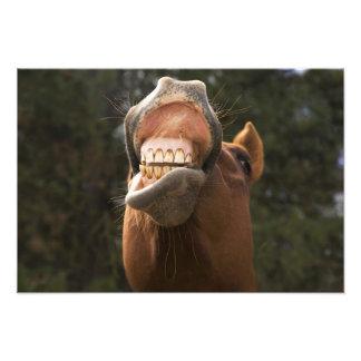 USA, Oregon, Seneca, Ponderosa Ranch. A horse Photo Print