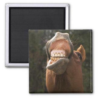 USA, Oregon, Seneca, Ponderosa Ranch. A horse Square Magnet