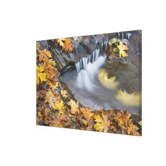 USA, Oregon, Sweet Creek. Fallen maple leaves Gallery Wrap Canvas