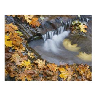 USA, Oregon, Sweet Creek. Fallen maple leaves Postcard