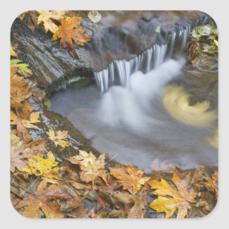 USA, Oregon, Sweet Creek. Fallen maple leaves Square Sticker