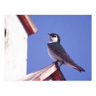 USA, Oregon. Violet-Green Swallow Tachycineta Postcard