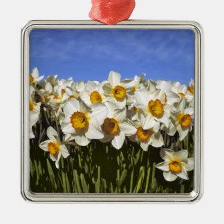 USA, Oregon, Willamette Valley. Daffodils grow Silver-Colored Square Decoration