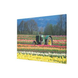 USA, Oregon, Woodburn, Wooden Shoe Tulip 2 Gallery Wrap Canvas