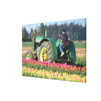 USA, Oregon, Woodburn, Wooden Shoe Tulip Stretched Canvas Print