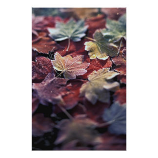 USA, Pacific Northwest. Japanese maple leaves Photo Art