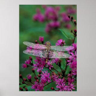 USA, Pennsylvania. Dragonfly on Joe-Pye weed Poster