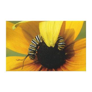 USA, Pennsylvania. Monarch caterpillar on daisy Canvas Print