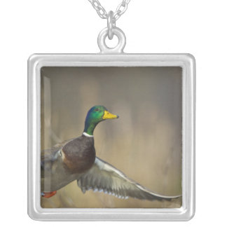 USA, Seattle, Washington. Male Mallard blasts 2 Silver Plated Necklace