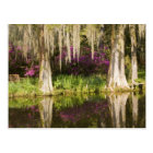 USA, South Carolina, Charleston. Cypress Trees Postcard