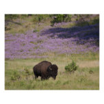 USA, South Dakota, American bison (Bison bison) Poster