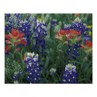 USA, Texas Hill Country. Bluebonnets and Poster