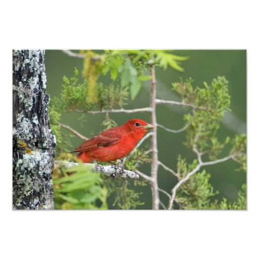 USA, Texas, Hill Country. Male summer tanager Photo Art