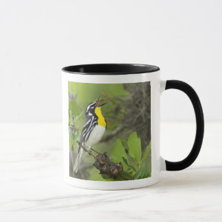 USA, Texas, Hill Country. Male yellow-throated Mug